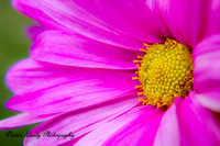 Day 82: Pink Daisy